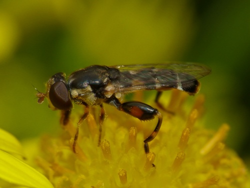 Syritta pipiens - Mark Skevington - Conkers - 21 August 2012
