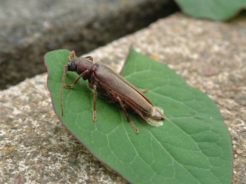 Arhopalus rusticus - Beckyboo - Outwoods - 24 July 2012