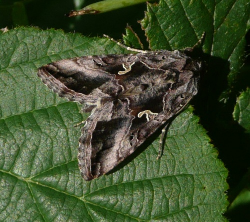 Autographa gamma - Barbara Cooper - Clawson Hill - 31 August 2012