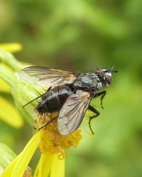 Eriothrix rufomaculata - Graham Calow - Ullesthorpe Stewardship Farm - 31 August 2012