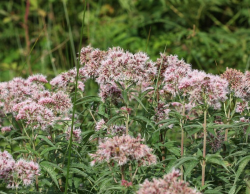 Hemp-agrimony  - Eupatorium cannabinum - David Nicholls - Charnwood Lodge - 01 September 2012