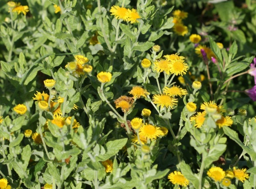 Common Fleabane - Pulicaria dysenterica - David Nicholls - Watermead Country Park - 06 September 2012