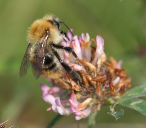 Bombus pascuorum - David Nicholls - Ashby Canal, Shackerstone - 15 September 2012