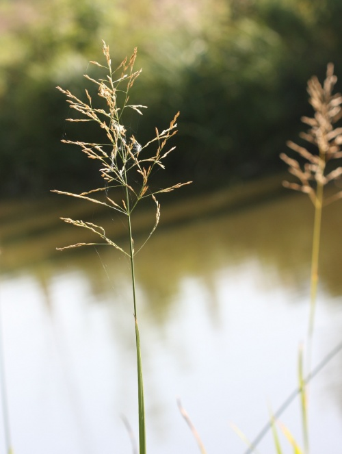 Reed Sweet-grass  - Glyceria maxima - David Nicholls - Ashby Canal, Shackerstone - 15 September 2012