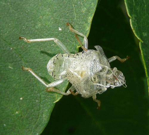 Acanthosoma haemorrhoidale - Barbara Cooper - Long Clawson - 08 September 2012 - nymph exuvium