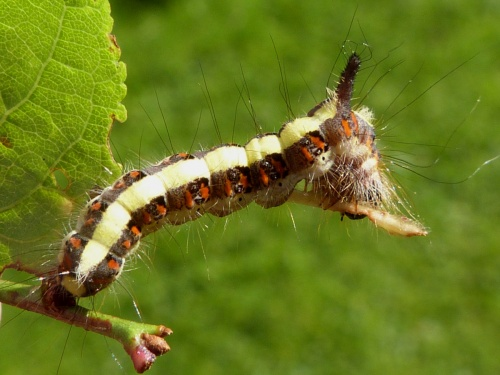 Grey Dagger  - Acronicta psi - Graham Calow - Sapcote - 01 October 2012 - larva on Prunus sp