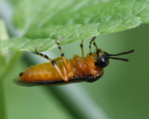 Turnip Sawfly  - Athalia rosae - David Nicholls - Martinshaw Wood - 05 July 2012