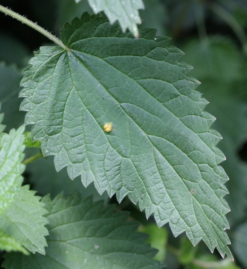 Puccinia urticata - David Nicholls - Martinshaw Wood - 05 July 2012