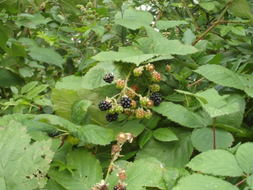 Rubus fruticosus agg. - Alan Semper - Hose, Community orchard hedge - 07 October 2012