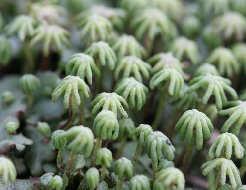 Marchantia polymorpha - David Nicholls - Thomas Estley College - 15 June 2012