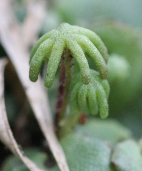 Marchantia polymorpha - David Nicholls - Thomas Estley College - 15 June 2012 - female