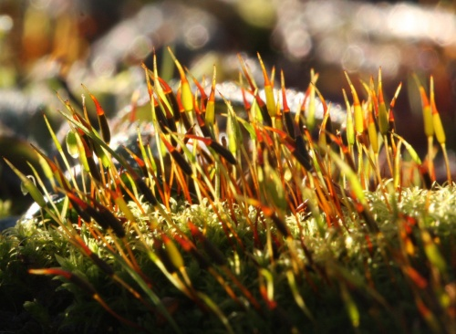Bird's-claw Beard-moss  - Barbula unguiculata - David Nicholls - Ratby garden - 07 December 2012