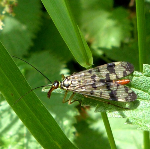Scorpion Fly - Panorpa communis - Graham Calow - Jubilee Walk Leire - 26 June 2012 - female - specimen examined