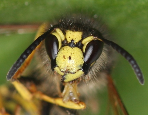 Tree Wasp  - Dolichovespula sylvestris - David Nicholls - Ratby garden - 17 August 2012