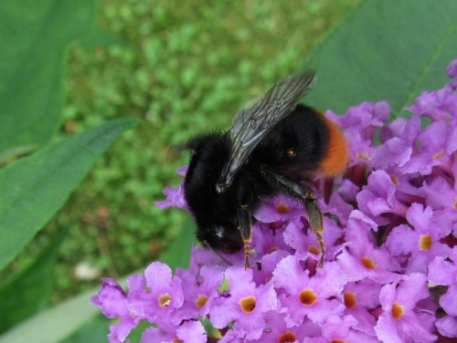 Bombus lapidarius - Kate Moore - Woodhouse Eaves garden - 18 August 2012