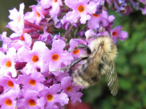 Bombus pascuorum - Kate Moore - Woodhouse Eaves garden - 18 August 2012