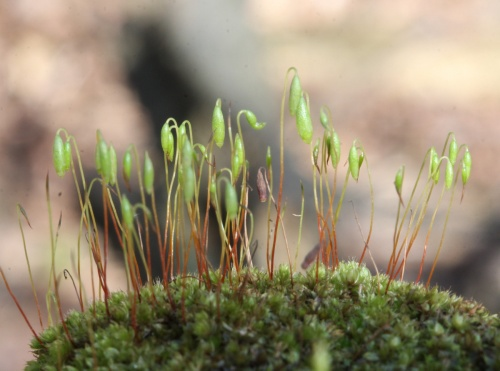 Capillary Thread-moss - Bryum capillare - David Nicholls - Sheet Hedges Wood - 02 February 2013