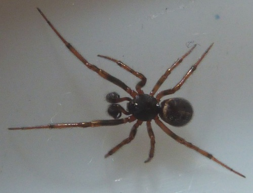 Steatoda bipunctata - Graham Calow - Sapcote garden1 - 31 January 2013 - male - specimen examined
