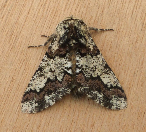 Biston strataria - Graham Calow - Sapcote garden1 - 12 April 2013
