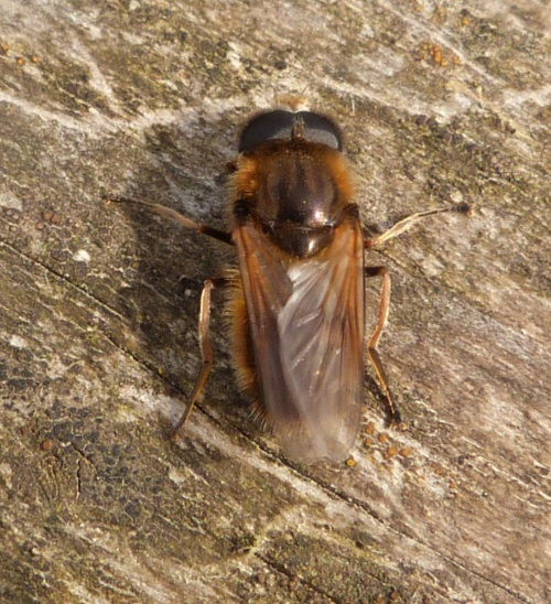 Cheilosia grossa - Graham Calow - Base of Croft Hill - 16 April 2013