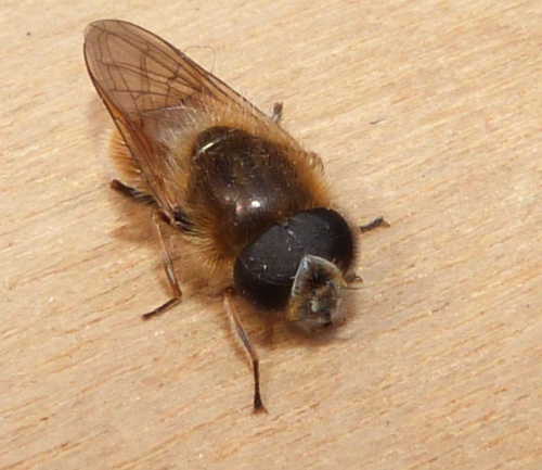 Cheilosia grossa - Graham Calow - Base of Croft Hill - 16 April 2013 - black antennae