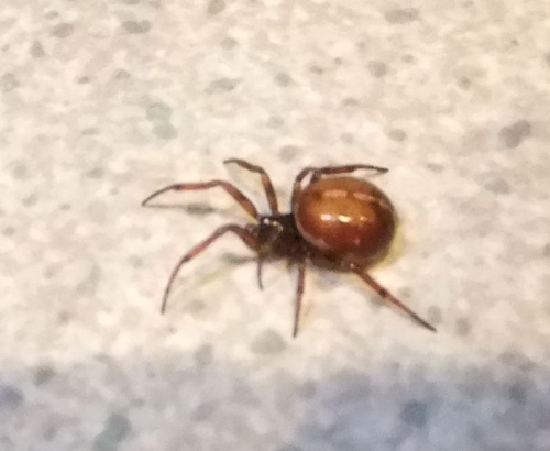 Steatoda bipunctata - Ron.stevens - Broughton Astley - 21 April 2013