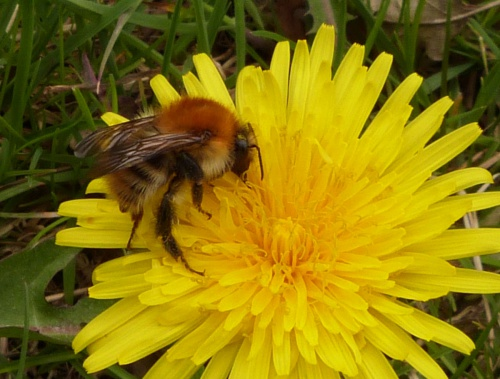 Bombus pascuorum - Graham Calow - Fosse Meadows, Sharnford - 29 April 2013