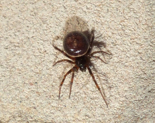 Steatoda bipunctata - Graham Calow - Sapcote garden1 - 02 May 2013