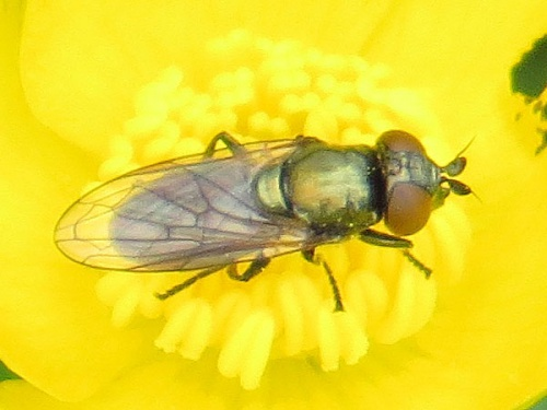 Lejogaster metallina - David Gould - The Spearwort Fields - 18 May 2013