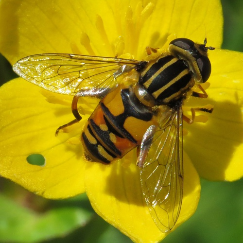 Helophilus pendulus - David Gould - The Spearwort Fields - 25 May 2013 - female