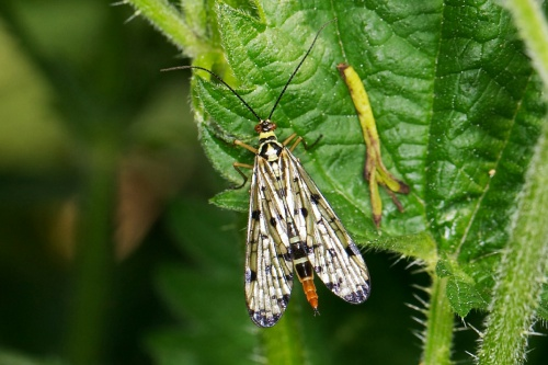 Panorpa communis - Paul Roberts - Rutland Water - 31 May 2013 - Female