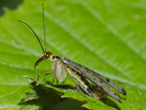 Panorpa communis - HAPeacock - Martinshaw Wood - 31 May 2013