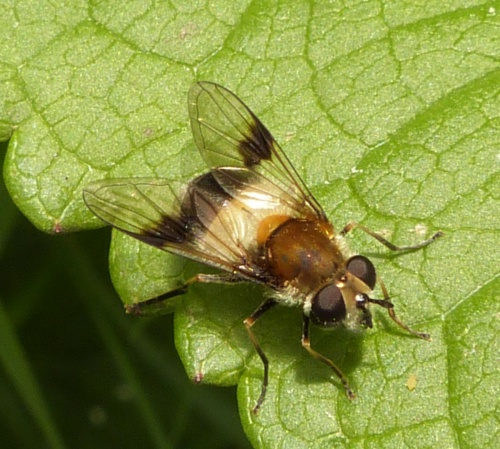 Leucozona lucorum - Graham Calow - Sapcote - 02 June 2013