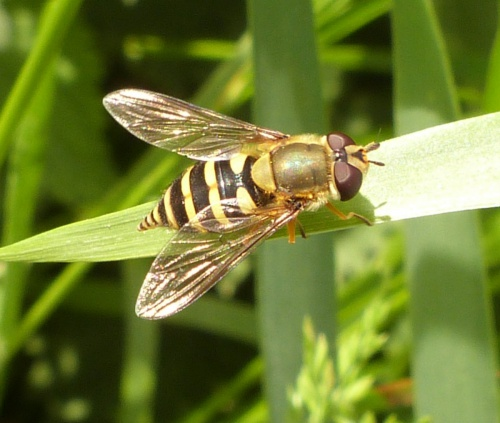 Syrphus ribesii - Graham Calow - Sapcote - 02 June 2013