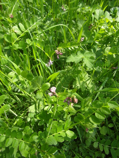 Vicia sepium - Alan Semper - Holwell Mineral LIne - 31 May 2013