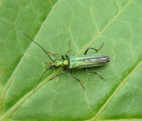 Oedemera nobilis - Graham Calow - Sapcote - 05 June 2013 - female