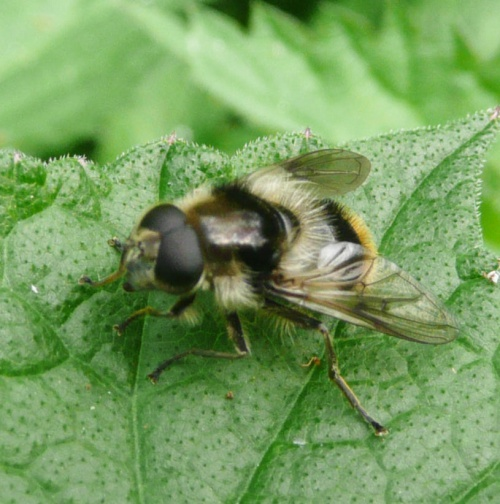 Cheilosia illustrata - Barbara Cooper - Clawson Hill - 09 June 2013