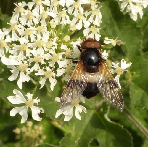 Volucella pellucens - Graham Calow - Sapcote - 18 June 2013