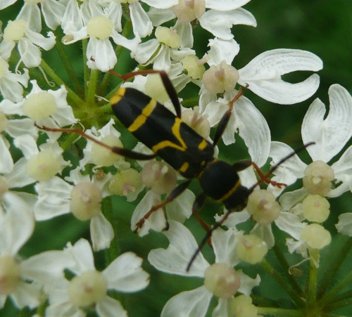 Clytus arietis - Barbara Cooper - Long Clawson, Canal Lane - 22 June 2013