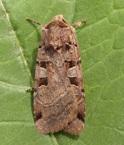 Double Square-Spot  - Xestia triangulum - Graham Calow - Sapcote garden1 - 28 June 2013