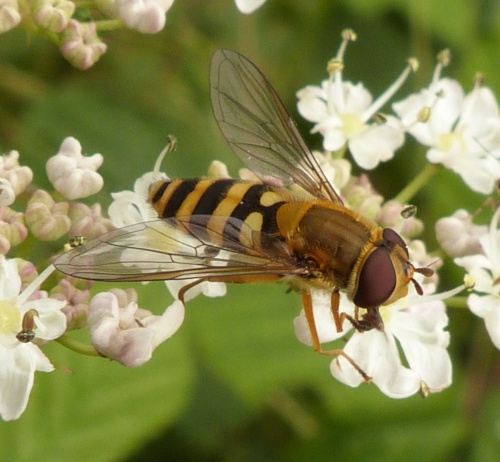 Syrphus ribesii - Graham Calow - Sapcote - 03 July 2013