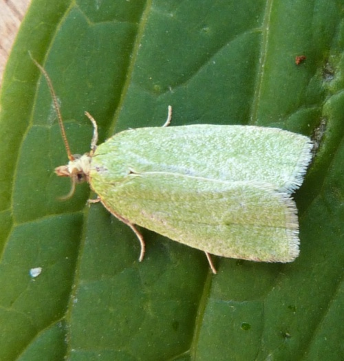 Green Oak Tortrix - Tortrix viridana - Graham Calow - Sapcote garden1 - 05 July 2013