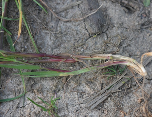 Creeping Bent - Agrostis stolonifera - David Nicholls - Bradgate Park - 05 July 2013
