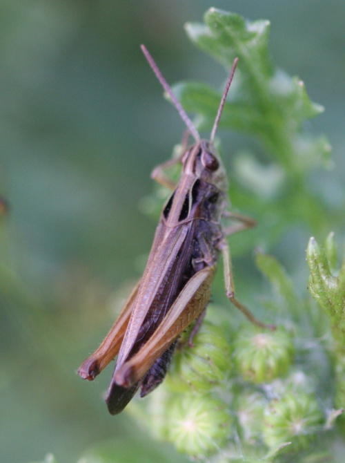Common Field Grasshopper   - Chorthippus brunneus - David Nicholls - Bradgate Park - 05 July 2013