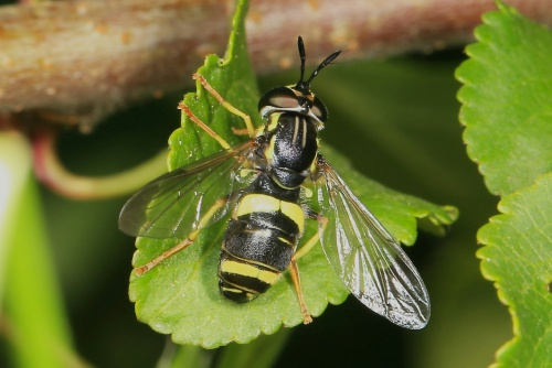 Chrysotoxum bicinctum - Paul Roberts - Rutland Water - 09 July 2013
