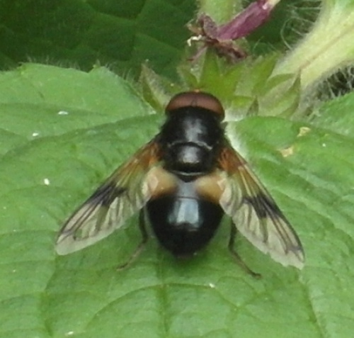 Volucella pellucens - Alan Semper - Harby Nature Reserve - 08 July 2013