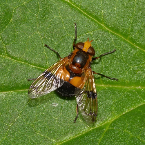 Volucella inflata - Mark Skevington - Ketton Quarry - 06 July 2013