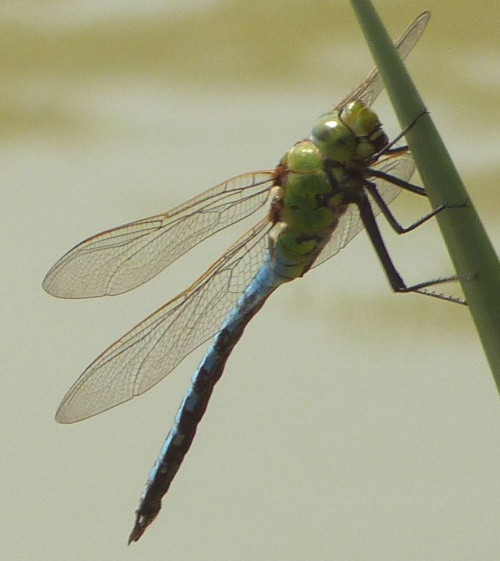Anax imperator - Graham Calow - Stanton Lakes - 11 July 2013