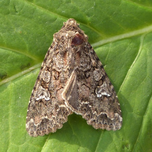 Cabbage Moth  - Mamestra brassicae - Graham Calow - Sapcote garden1 - 15 July 2013