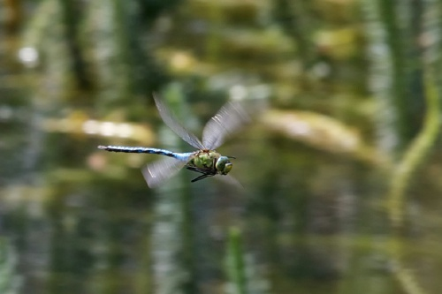 Anax imperator - Paul Roberts - Oakham canal - 16 July 2013 - Male Emperor